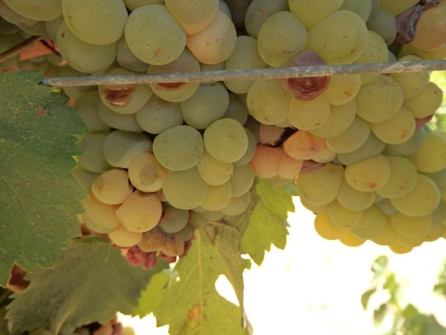Sour rot on a bunch of Chenin Blanc wine grapes