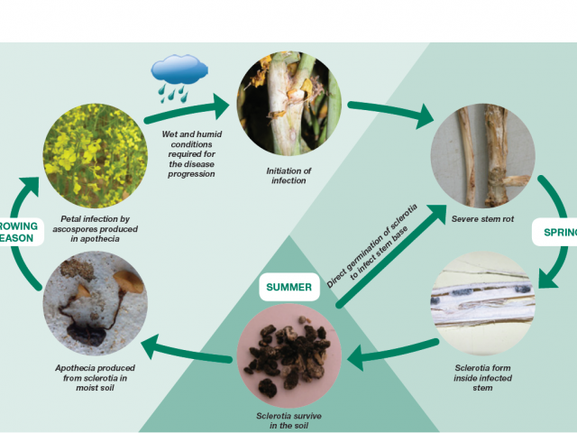 Lifecycle of sclerotinia stem rot showing how disease develops and spreads
