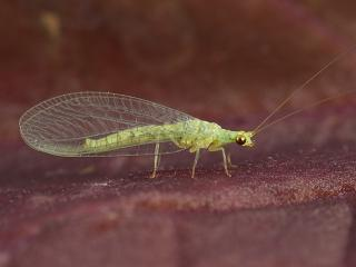 green lacewing adult