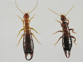 Native earwig: Male on left, female on right