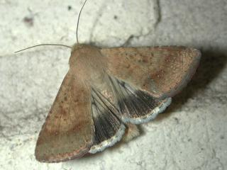 Native budworm moths are usually 20 mm long and 35 mm across on the outstretched wing