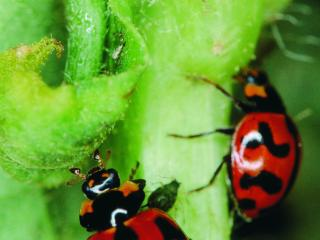 Two red ladybirds with black spots.