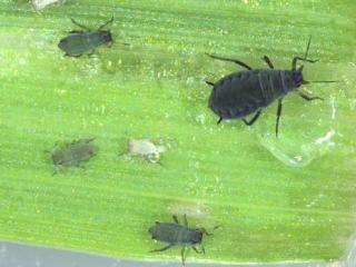 Adult corn aphid and nymphs on a leaf