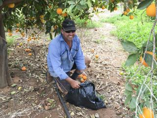 Al Holtham from Janna Plantations collects fallen citrus fruit to help control Mediterranean fruit fly in Carnarvon.