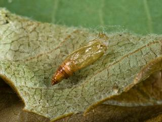 Apple looper pupae are about 20 mm long and form within a silk sleeve on plant foliage