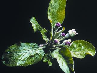 Pink bud stage in apples - the time to start monitoring for apple dimpling bug. Photo courtesy NSW DPI