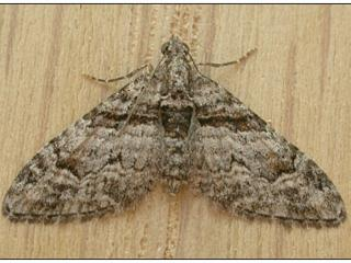 Adult looper moths are about 8 millimeters long with a wingspan of around 15 millimeters. They are grey with brown bands across the wings. Females have no tufts on the upper wings. Photo courtesy Tasmoths