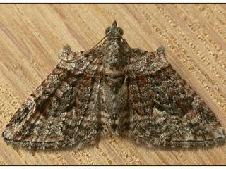 Adult looper moths are about 8 millimetres long with a wingspan of around 15 millimeters. They are grey with brown bands across the wings. Males have tufts on the upper wings. Photo courtesy Tasmoths
