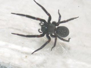 Close up photo of a black house spider