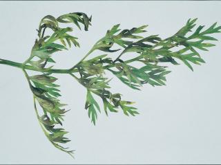 Alternaria dauci on carrot leaf