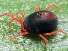 An adult blue oat mite