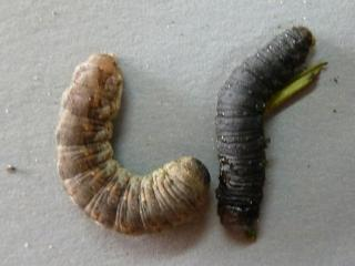 Left light coloured pink cutworm, right darker coloured herring bone patterned cutworm