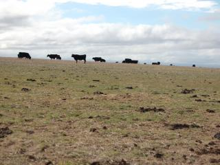 Cattle in paddock with scattered hard clumps of dung