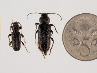 Male and female EHB beetles next to a five cent piece