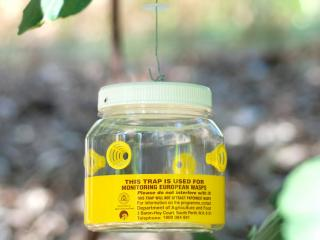 The contribution of people and local governments who 'adopt-a-trap' have helped prevent European wasps from becoming established in Western Australia.