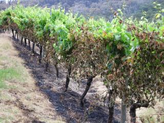Fire damage to grapevines