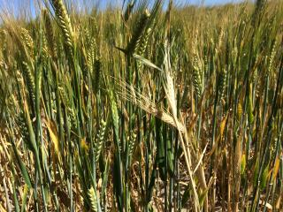Fusarium crown rot in barley