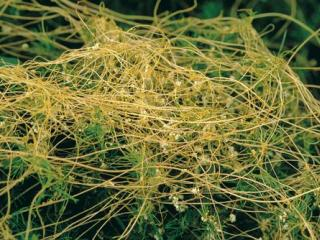 The stems of golden dodder twine around host plants and are usually coloured orange-yellow.
