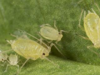 Green peach aphid adults and nymphs