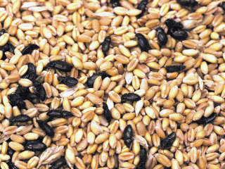 Insects in grain after harvest
