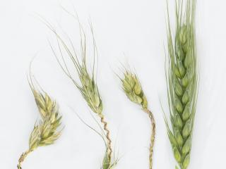 One of the new photographs on the updated MyCrop wheat app, showing the bleached and distorted heads of frost damaged wheat plants at booting (left) versus a healthy head (right).