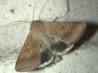 An adult native budworm moth.
