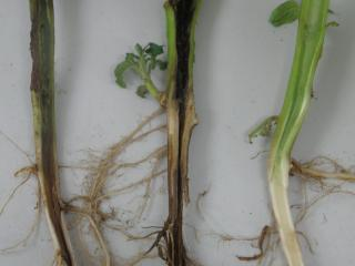 Black leg internal symptoms. The two plants on the left are infected by soft rot bacteria, causing blackened internal symptoms and crop wilt, a healthy plant is shown on the right.
