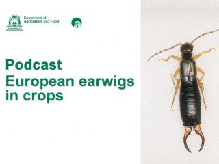 image of european earwig