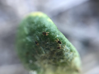 Redlegged earth mites on a lupin plant.
