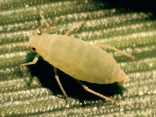 Russian wheat aphid (Diuraphis noxia). CREDIT: Frank Peairs, Colorado State University, Bugwood.org