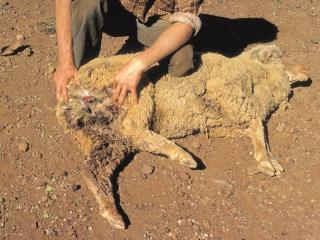 Dead sheep that has been attacked at hind end with man inspecting injuries.