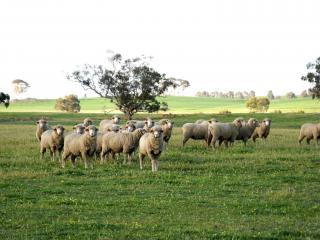 Sheep are more likely to be at risk of cobalt deficiency.