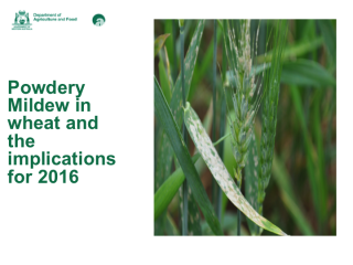 The image is powdery mildew on the flag leaf and head in a wheat crop