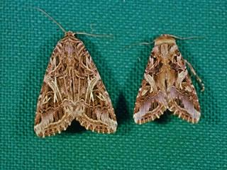 Cluster caterpillar moths have brown patterned wings and the male is slightly smaller than the female