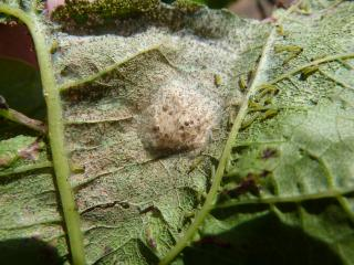 Eggs have hatched from a cluster caterpillar egg mass and early stage larvae feeding