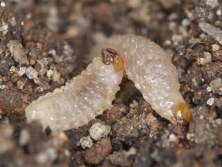 Spotted vegetable weevil larvae