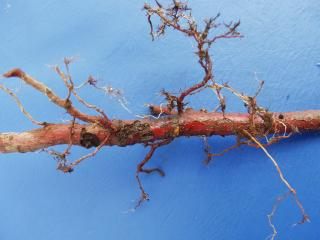 Weevil larvae damage to roots