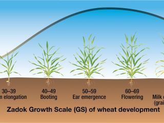 Wheat susceptibility to frost