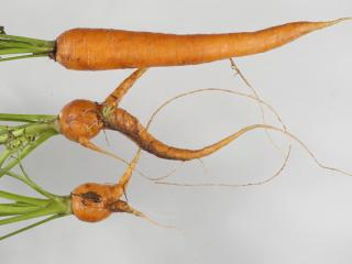 Três raízes de cenoura mostrando bifurcação causada por ataque de nemátodes.