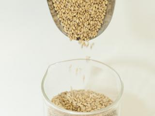 Photograph of wheat grains pouring slowly from a scoop into a plastic beaker
