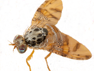 Adult Medfly