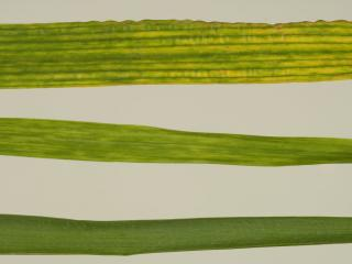 Pale green leaf streaks in young wheat leaves infected with Wheat steak mosaic virus