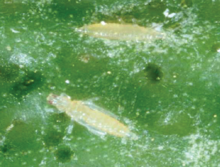 Kelly's citrus thrips
