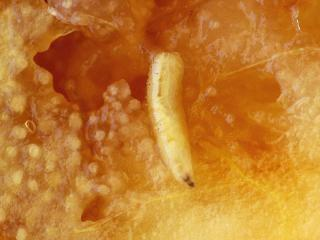 larva in fruit