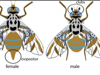 Female and male Medfly
