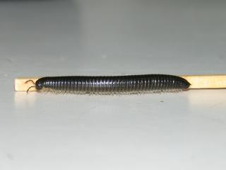 Single portugese millipede compared to a match for size