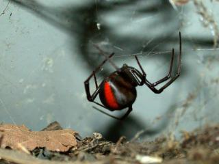 Red back spider hanging down from its web.