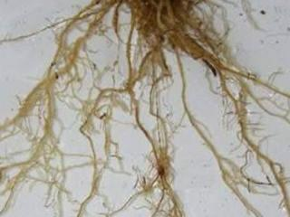 Symptoms of root lesion nematodes on cereal roots appear as thin roots with brown lesions