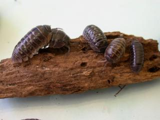 Five slaters, which are segmented, dark grey oval-shaped insects on a piece of bark.