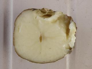 Cross section of infected tuber showing internal rot